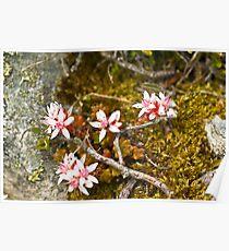 Plant, English Stonecrop, Sedum anglicum, Flowers Poster