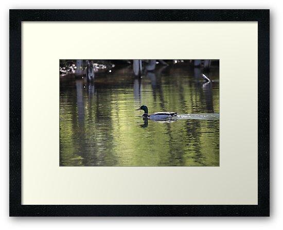 Duck Water Scene by Thomas Murphy