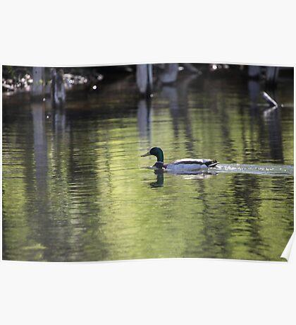 Duck Water Scene Poster
