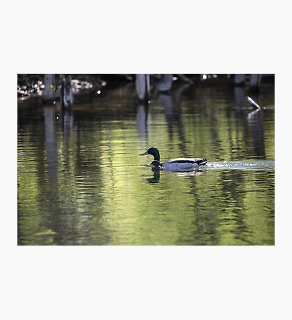 Duck Water Scene Photographic Print