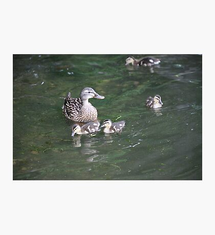 Duck with Ducklings Photographic Print