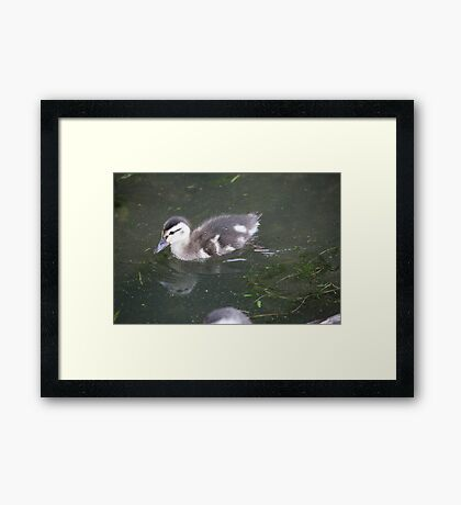 Ducklings on Lake Monona Framed Print