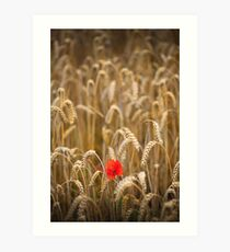 poppy in cornfield Art Print