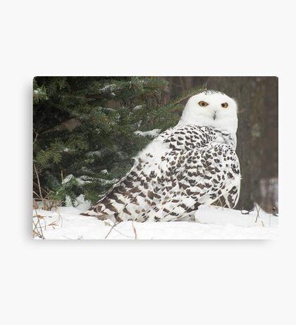 Snow Owl for Roy Canvas Print