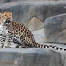 Male Leopard by Marija