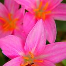 Zephyranthes Fosteri  by Pandrot