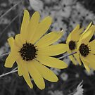Sunny Susans by Jamie  Armbruster