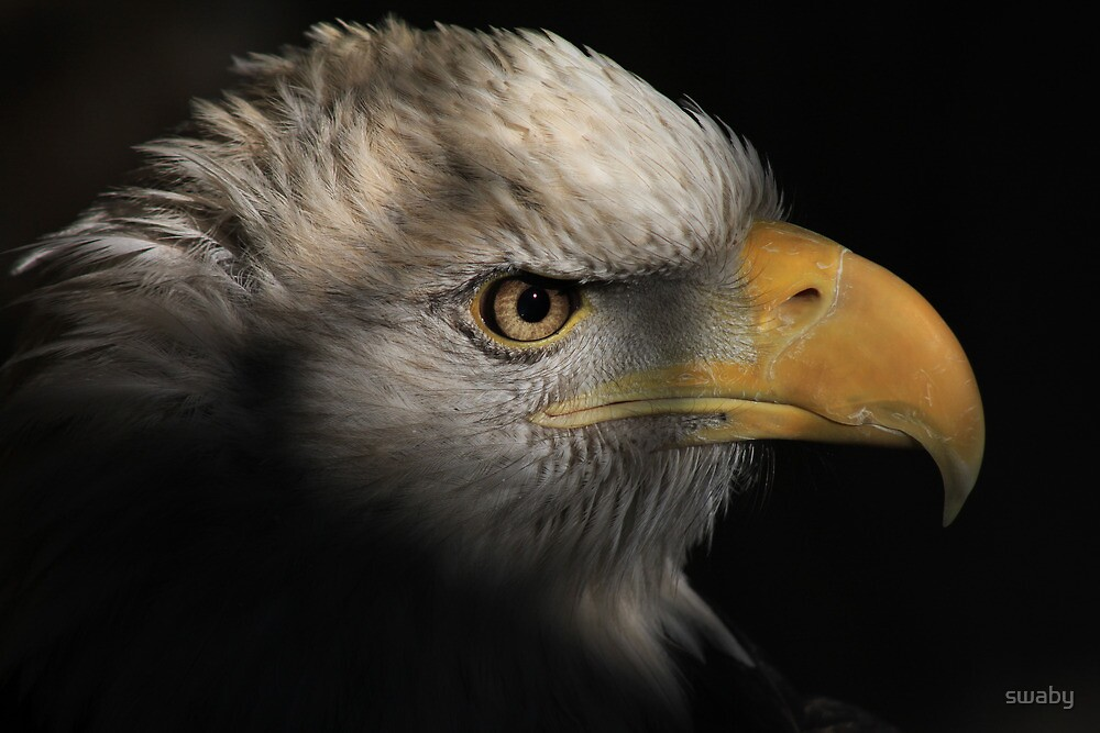 American Bald Eagle by swaby