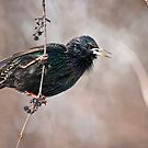 European Starling by Michael Cummings