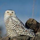 Owl at Amherst by Daniel  Parent