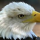 American Bald Eagle by Gregg Williams