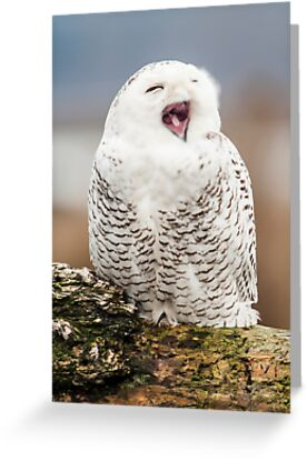 Snowy Owl Yawning by Jim Stiles