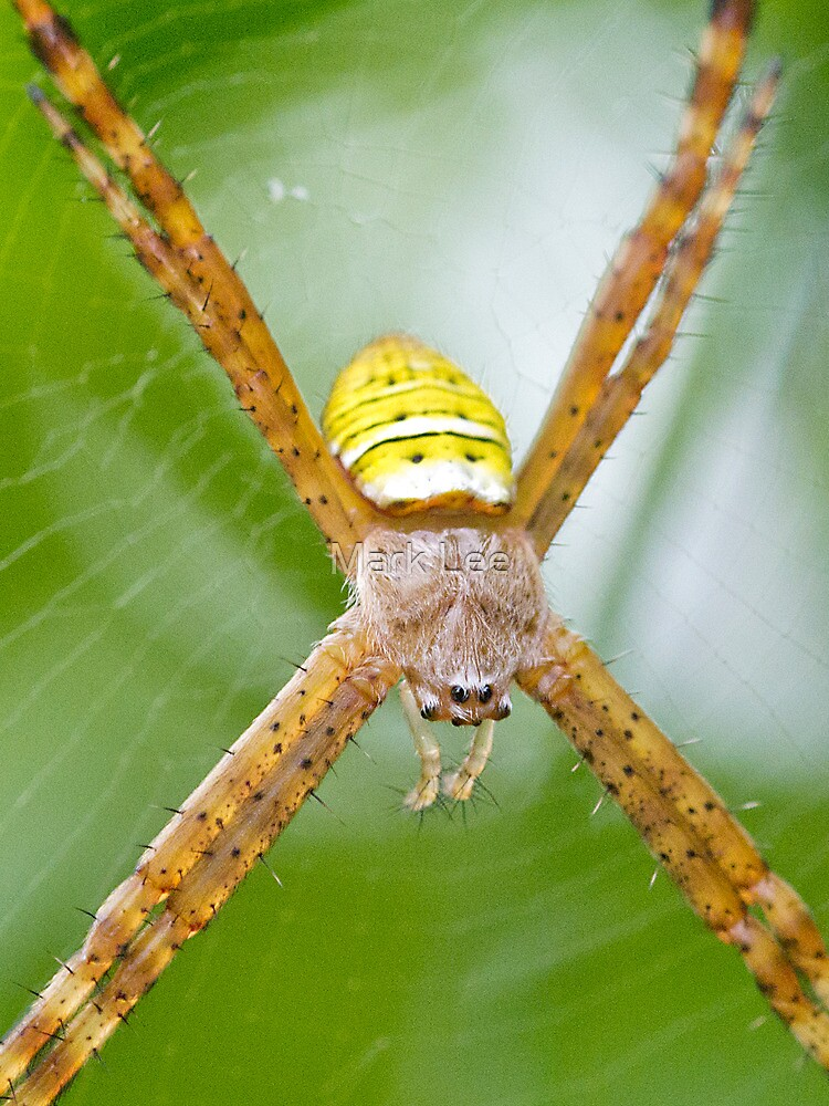 St. Andrews' Cross spider by Mark Lee