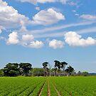 Potato Landscape, Cardinia swamp, Gippsland, Victoria. by johnrf