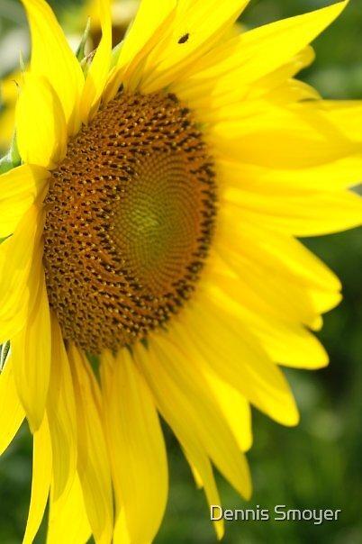 Sunflower by Dennis Smoyer