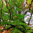 Ancient White Oak, Virginia Creeper Trail by Cecilia Carr