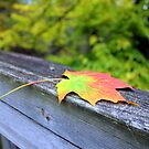 Maple Leaf, Virginia Creeper Trail by Cecilia Carr