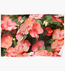 Peach Colored Flowers Poster