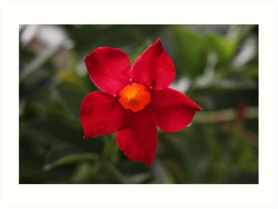 Red Flower by Thomas Murphy