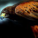 Harris Hawk portrait by Alan Mattison
