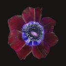 Amazing Anemone by Barbara Wyeth