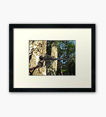 Slaty Skimmer - Libellula incesta - Male Framed Print