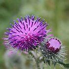 Purple thistle by Henk van Kampen