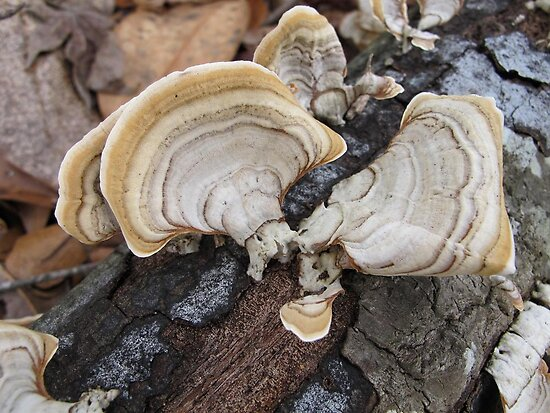 Shelf Fungus on Oak by May Lattanzio