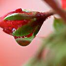 Raindrop on Geranium Bud by glennc70000