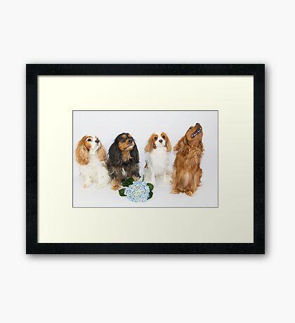 Cavalier King Charles Spaniel With Hydrangea Framed Print