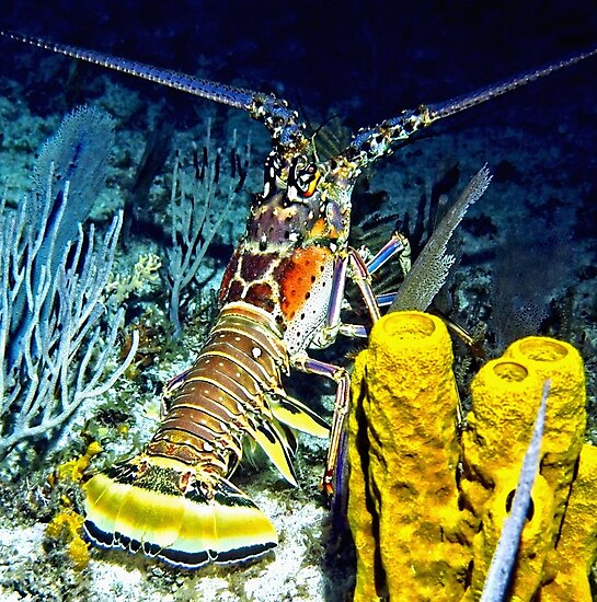Caribbean Reef Lobster at Night by Amy McDaniel
