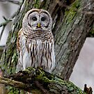 Barred in a tree by Daniel  Parent