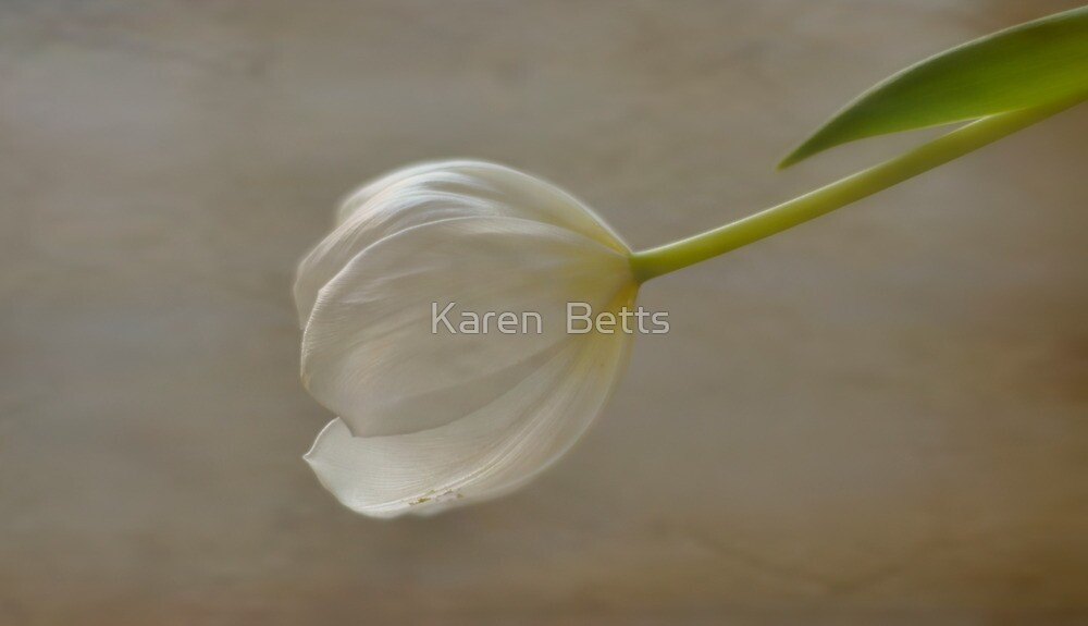 White Tulip by Karen  Betts