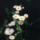 Wild Flowers by Lorelle Gromus