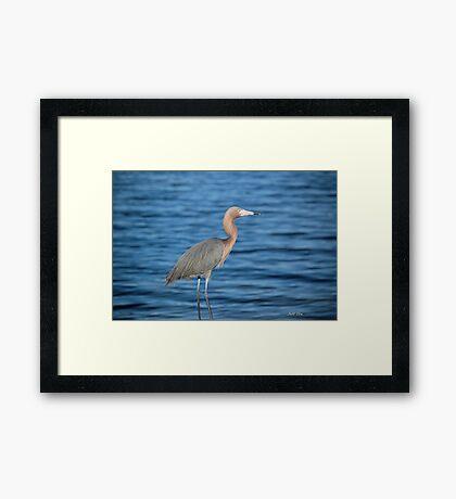 Reddish Egret (Egretta Rufescens ) Framed Print