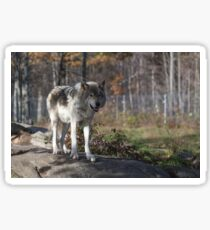 Timber wolf in the woods Sticker
