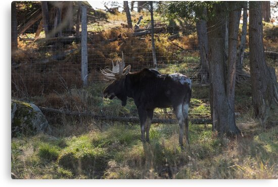 Large Moose in the woods by Josef Pittner