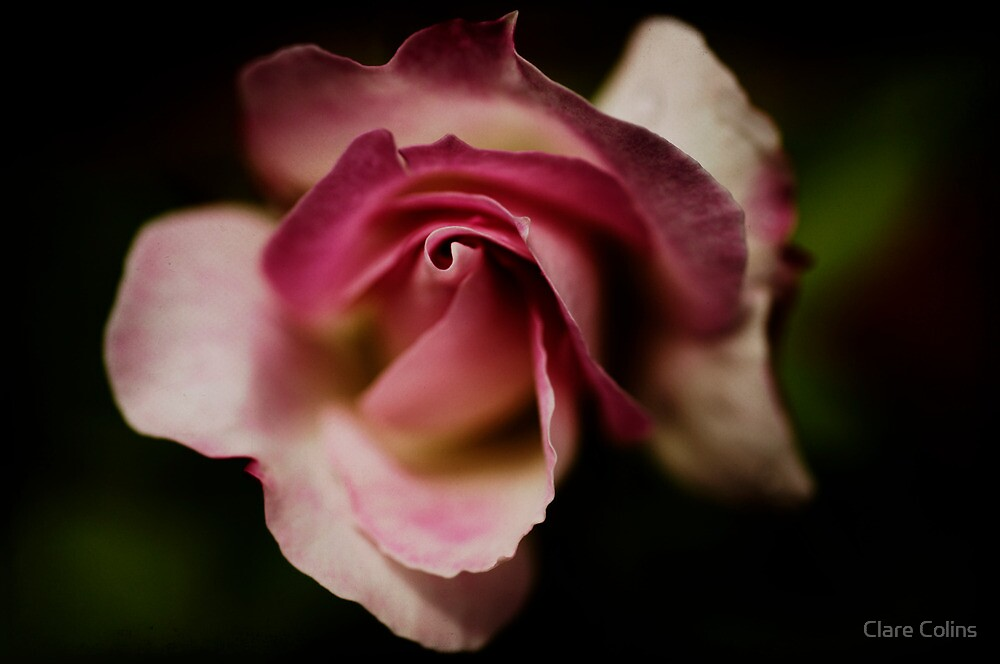 a precious little rose by Clare Colins
