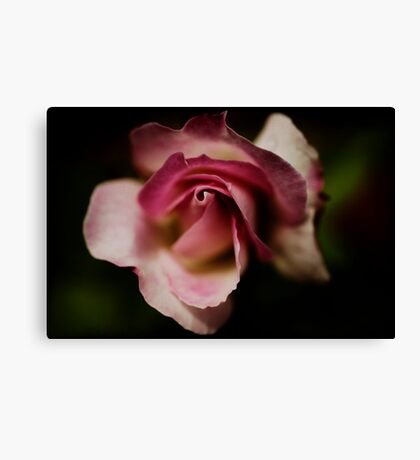 a precious little rose Canvas Print