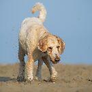 Goldendoodle by (Tallow) Dave  Van de Laar