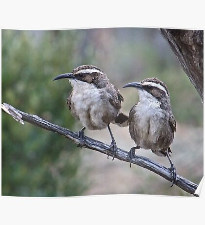 White browed-Babblers Poster