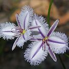 Thysanotus tuberosus. (Fringe Lily) Colour variation. by Russell Mawson