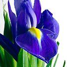 Iris by friendlydragon