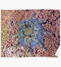 Starfish - the Carpet Sea Star (Patiriella calcar) Poster