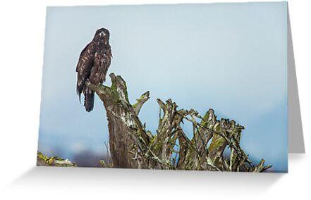 Juvenile Bald Eagle by Jim Stiles