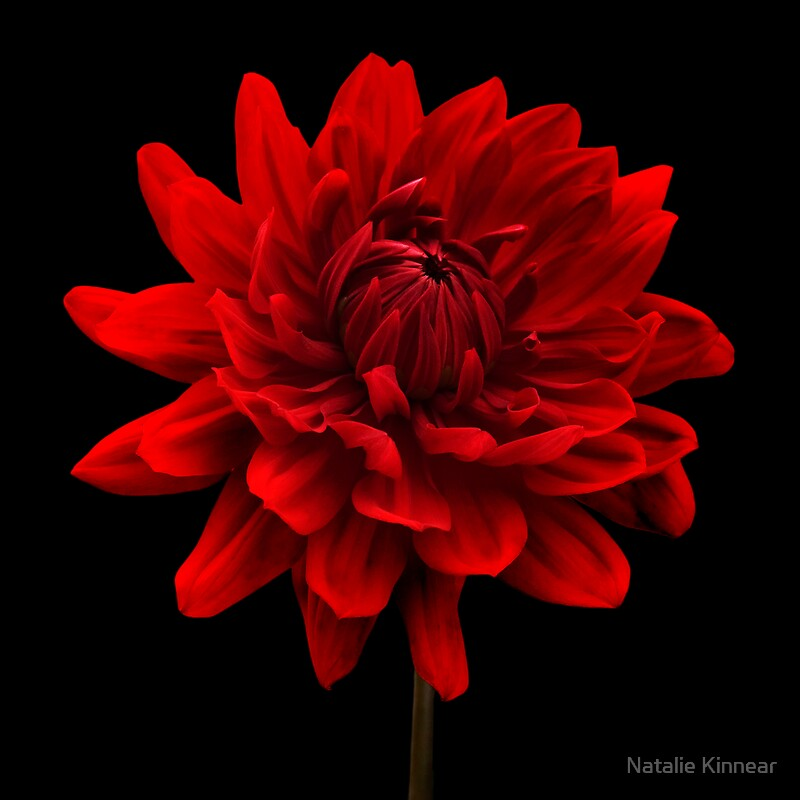 "Red Canvas Wall Art red dahlia flower black background wall art"" canvas prints"