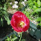 A Solitary Tulip von BlueMoonRose