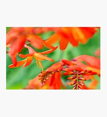 Crocosmia Photographic Print