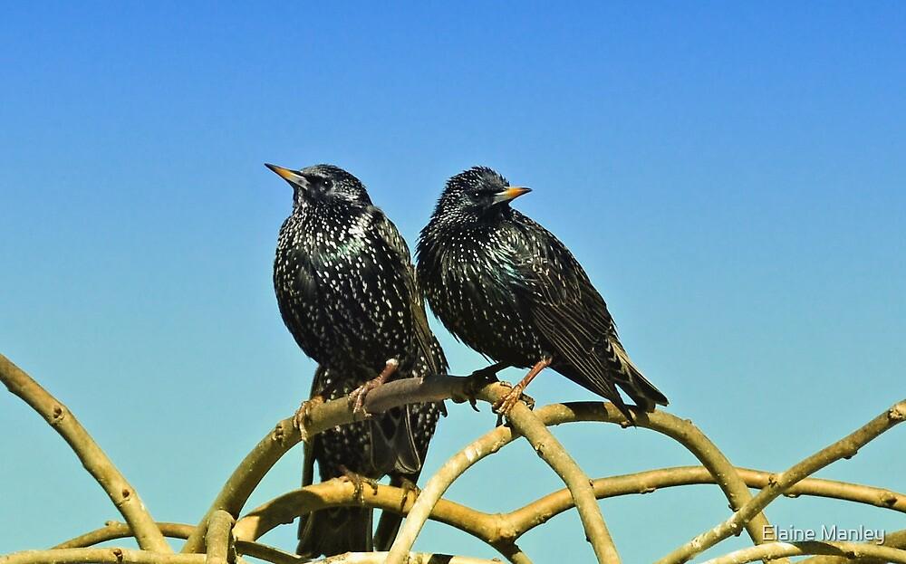 Starlings by Elaine Manley