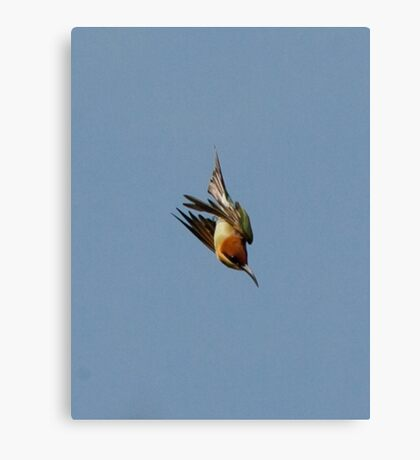 Chestnut-headed Bee-eater on the wing Canvas Print